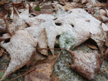 Leaves Frosted Over With Snow. Leaves are frosted over with a light snow after snow flurries Royalty Free Stock Image