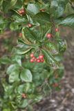 Crataegus prunifolia plant. Leaves and fruit of Crataegus prunifolia plant Royalty Free Stock Photos
