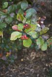 Crataegus prunifolia plant. Leaves and fruit of Crataegus prunifolia plant Stock Images