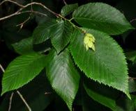 Leaves and fruit of hop hornbeam tree. Bright green leaves and light green fruits hops of the American hop hornbeam tree Ostrya virginiana in a western Royalty Free Stock Photo