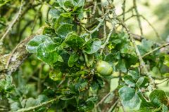 Leaves and fruit of summer oak, Quercus robur Cristata. In an Arboretum during summer time Royalty Free Stock Images
