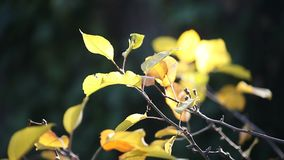 Yellow autumn leaves backlit stock video