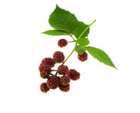 Leaves and fruits a blackberry Stock Photos
