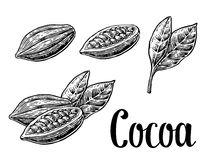 Leaves and fruits of cocoa beans. Vector vintage engraved illustration. Black on white background. Royalty Free Stock Photography
