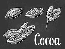 Leaves and fruits of cocoa beans. Vector vintage engraved illustration. On dark background Royalty Free Stock Images