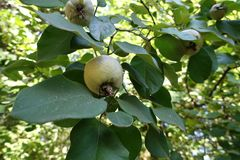 Leaves and fruits of quince. In september Stock Image