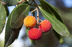 Leaves and fruits of strawberry tree. Leaves and fruit of strawberry tree (Arbutus unedo). This species is native to Mediterranean Region. Picture taking in Royalty Free Stock Photography