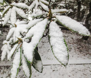 Leaves Full of Snow Royalty Free Stock Photo