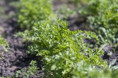Leaves of garden parsley, Petroselinum crispum, in a garden bed. royalty free stock photo