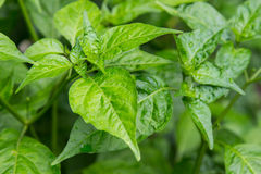 Leaves in the garden on a rainy day, Capsicum, Solanaceae Stock Images