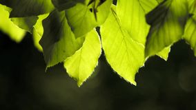 Leaves in  gentle motion. Backlit leaves in  gentle motion with dark blurred background stock video