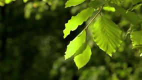 Leaves in  gentle motion. Backlit leaves in  gentle motion with dark green blurred background stock video footage