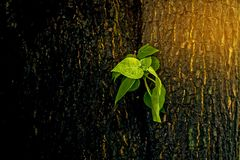 The leaves germinate in the middle of the big tree. Royalty Free Stock Photography
