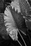 Black and white leaves. Giant leaves in a tropical garden nearby Laguna Chabela, Quintana Roo. Some of the local people use them as umbrellas Stock Photo