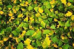 Leaves of Gingko Biloba Royalty Free Stock Photography