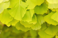 Leaves of Gingko Biloba Royalty Free Stock Images
