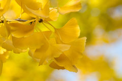 Leaves of a Gingko Royalty Free Stock Photo