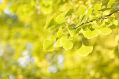 Leaves of Ginkgo Stock Photo