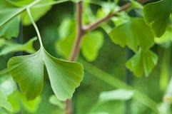 Leaves of ginkgo biloba Stock Photos