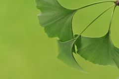Leaves of the Ginkgo Biloba Royalty Free Stock Photography