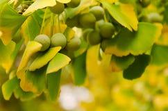 Leaves of Ginkgo Biloba Royalty Free Stock Photos