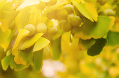 Leaves of Ginkgo Biloba Stock Images