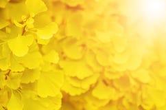 Leaves of Ginkgo Biloba Royalty Free Stock Photo