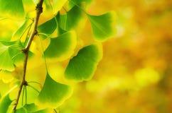 Leaves of Ginkgo Biloba Stock Image