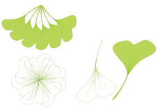 Leaves of ginkgo biloba Stock Image