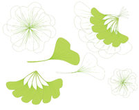 Leaves of ginkgo biloba Royalty Free Stock Photo