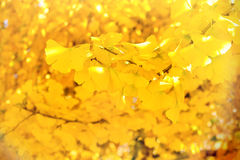 Leaves of ginkgo on branch - closeup Stock Images