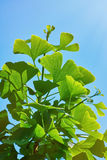 Leaves of Ginkgo Stock Photography