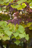 Leaves of the Ginkgo Tree Stock Photography