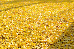 Leaves of the ginkgo tree in fall Stock Photos
