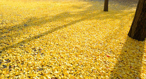 Leaves of the ginkgo tree in fall on the ground Royalty Free Stock Photos