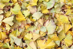Leaves of the ginkgo tree Royalty Free Stock Photography