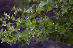 Leaves on gooseberry Royalty Free Stock Photography