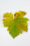 Leaves Grape Stock Photography