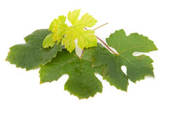 Leaves of grapes Stock Image
