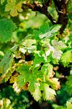 Leaves of grapes, affected by disease. royalty free stock image