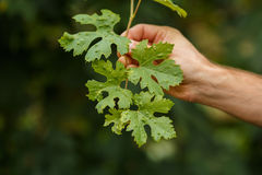 Vine leaf disease. Leaves of grapes with disease Stock Images