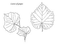 Leaves of grapes. Hand drawn. Sketch vector illustration