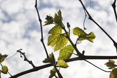 Leaves of grapes, spring Royalty Free Stock Photo