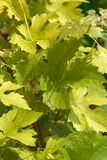 Leaves of grapes in Summer Stock Image