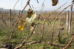 Leaves grapes in the vineyard with nature. Grape leaf autumn Stock Images