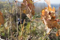 Leaves grapes in the vineyard with nature. Rows of Grape vines, some with grapes still hanging. Grape plant with yellow leaves Stock Photography