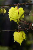 Leaves of grapevine after rain Stock Images