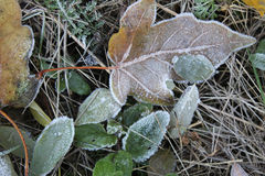 Leaves and grass covered with hoarfrost Stock Images