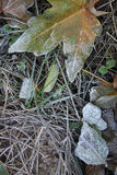 Leaves and grass covered with hoarfrost Stock Photo