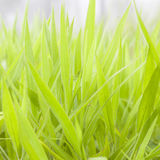 Leaves of grass Stock Image